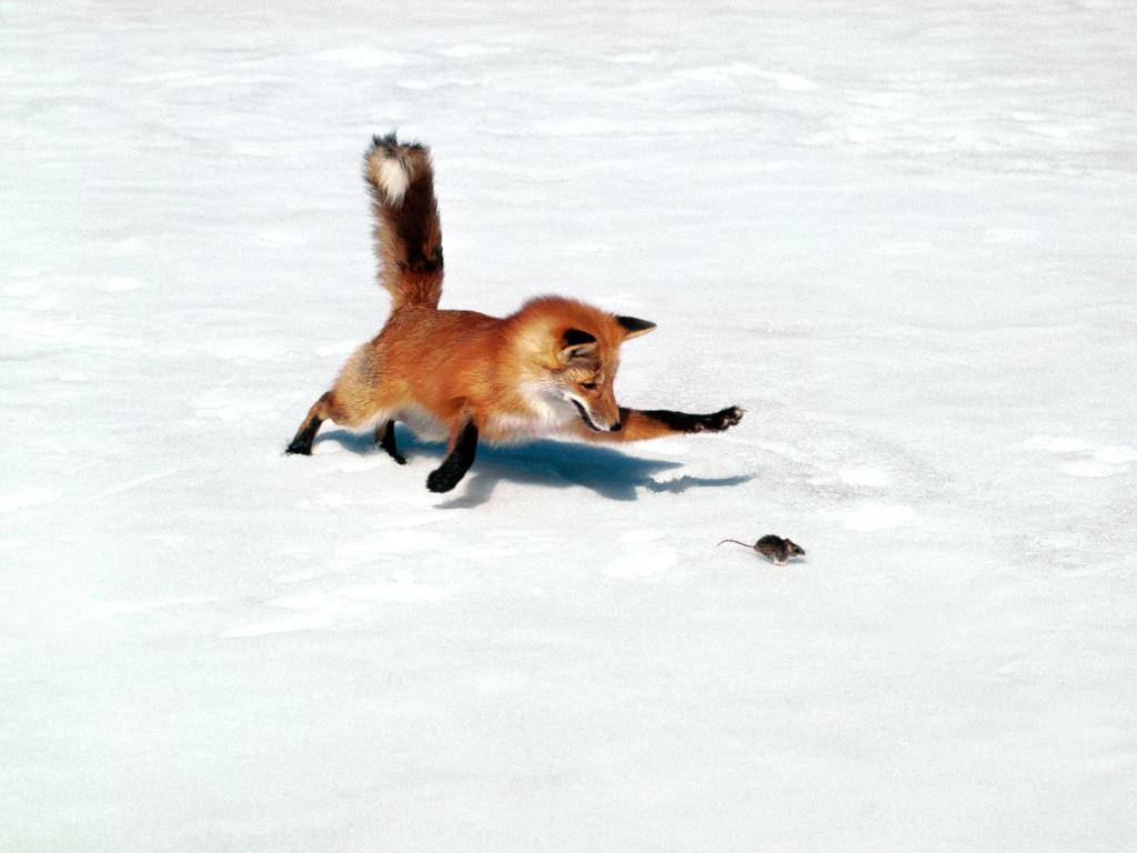 Volpe, rossa, a, caccia, nella, neve