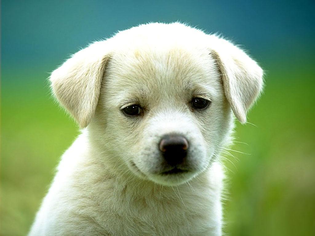 cucciolo ,cane, cucciolotto