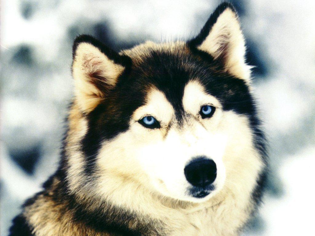 Husky, Siberia, glaciale