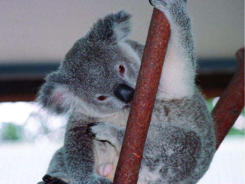 eucalipto, koala