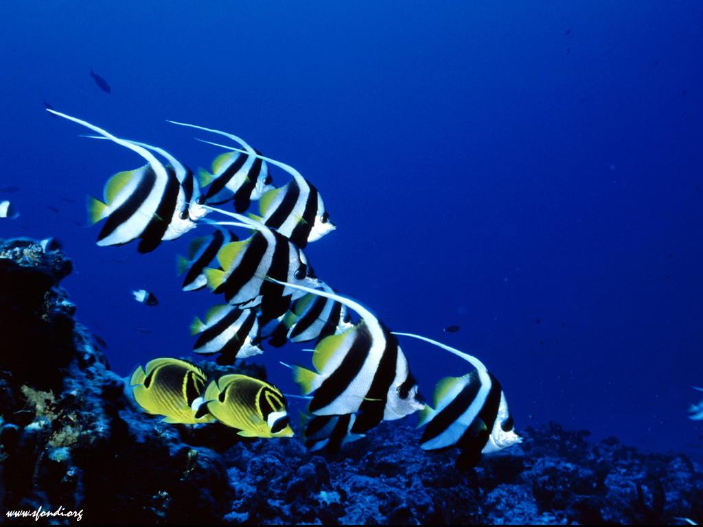 Preview halloween preview di pesci angelo categoria for Sfondi pesci tropicali